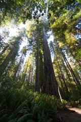 Baumkronen Redwood NP USA