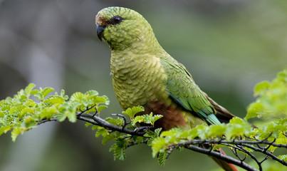 Austral Parakeet Fotomurales