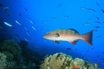 Red Sea Coral Grouper