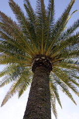 date palm from below
