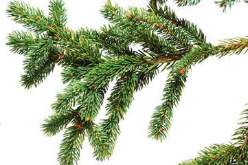 Sprig green spruce