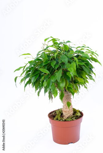 ficus natasja on a white background zdj stockowych i obraz w royalty free w. Black Bedroom Furniture Sets. Home Design Ideas