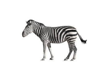 Photo sur Plexiglas Zebra Zebra 2 white background