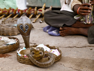 Snake charmer and two cobras in India