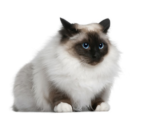 Side view of Birman (2 years old), lying down and looking away