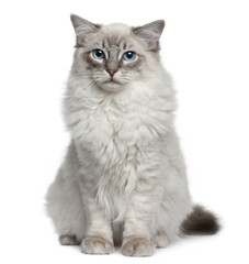 Front view of Ragdoll, sitting and looking at the camera