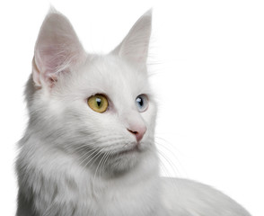 close up of a Turkish Angora (18 months old), looking away