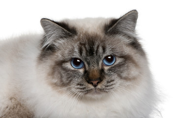 close up of a Birman (8 months old)