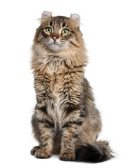 Front view of American Curl (8 months old), sitting