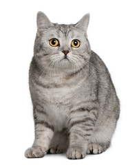 Front view of British Shorthair (18 months old), sitting