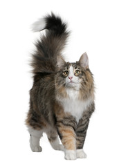 Norwegian Forest Cat, standing and looking up
