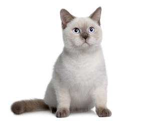 British Shorthair, sitting in front of a white background