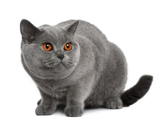 Side view of british shorthair lying down and looking away
