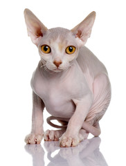Front view of Sphynx kitten (5 months old), looking the camera