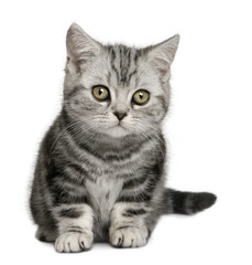 Front view of British Shorthair kitten (10 months old), sitting