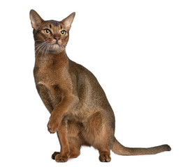 Abyssinian (9 months old), standing and looking up