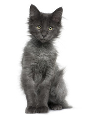 Front view of Norwegian Forest Cat kitten, sitting