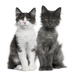 two Norwegian Forest Cat kitten (4 months old), sitting