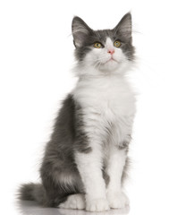 Norwegian Forest Cat kitten, sitting and looking up