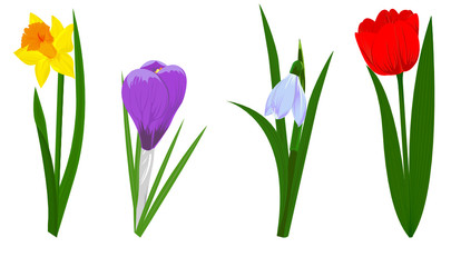 Set of four spring flowers narcissus, crocus, snowdrop and tulip