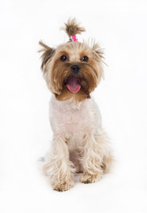 Yorkshire terrier with a pink bow