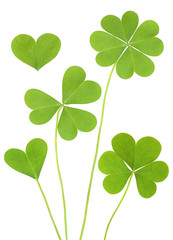 Three & Four Leaf Shamrock Clovers