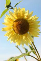 Sonnenblume vor blauem Sommerhimmel.