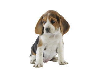 chiot beagle attendrissant assis