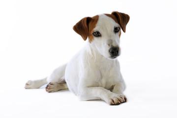 beauté  du regard d'un jack russell terrier très digne