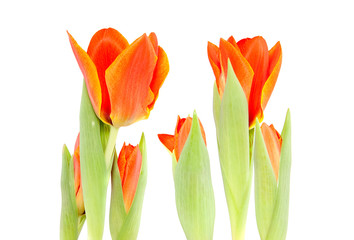 growing orange tulips  with yellow edges isolated over white