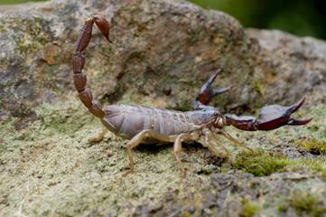 Sonoma Scorpion 2