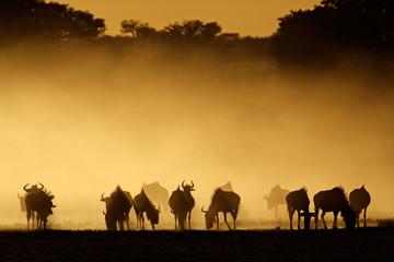 Blue wildebeest in dust, Kalahari desert, South Africa