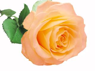 pink and yellow rose heart closeup