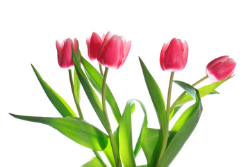 Fotobehang Tulp holiday tulips bouquet isolated on white