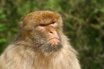 Portrait of Macaque with nasty look