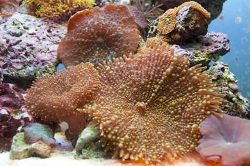 corallo actinodiscus