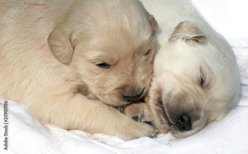 Golden Retriever Welpen 10 Tage Stock Photo And Royalty Free Images
