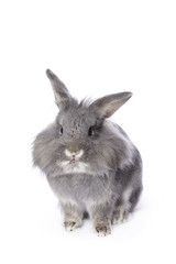 Grey leon-head dwarf rabbit