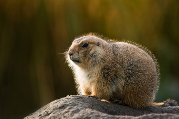 Prairie dog in winterfur with autumn background