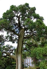Japanese / oriental Bonsai tree