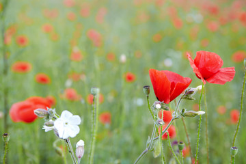 Wall Mural - red poppies on field