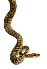 Side view of Morelia spilota variegata, a subspecies of python