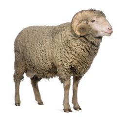 Arles Merino sheep, ram, 3 years old, standing