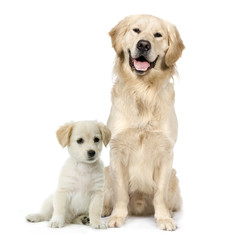 Fototapete - Golden Retriever and a Labrador puppy sitting