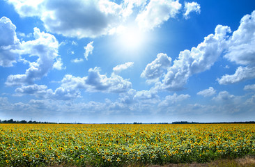 Sunflowers with clouds in the field
