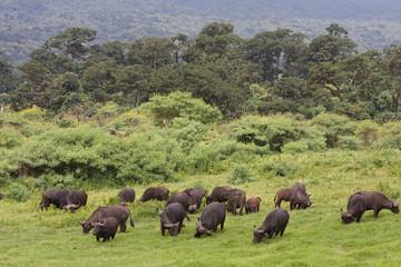 Africa Bufali