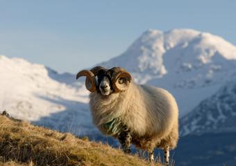 Highland Ram