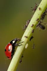 Ladybug eating aphid