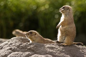 Three prairie dogs at burrow