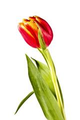Tender flower, red tulip
